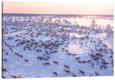 North Of Russia - Wilde Reindeers Canvas Art Print