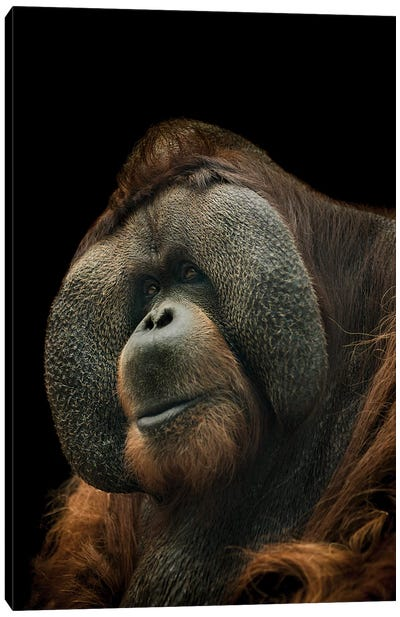 Orangutan Canvas Art Print