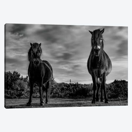 Dartmoor Ponies I Canvas Print #PNE8} by Paul Neville Art Print