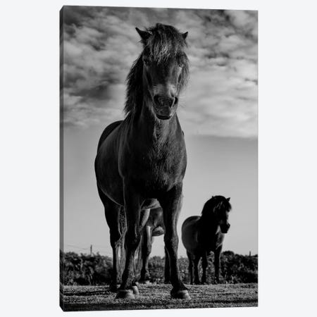 Dartmoor Ponies II Canvas Print #PNE9} by Paul Neville Canvas Art Print