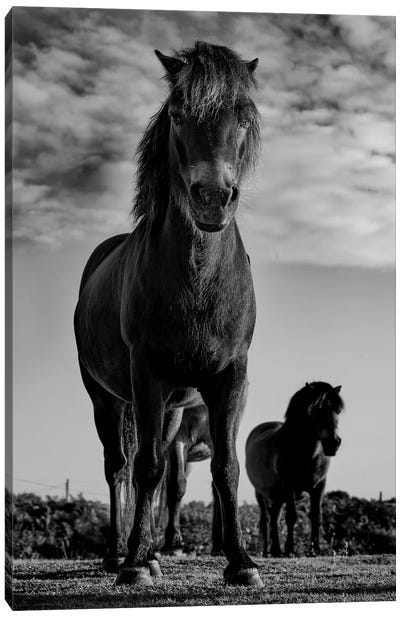 Dartmoor Ponies II Canvas Art Print