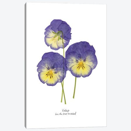 Pressed Violas I Canvas Print #POP2397} by Grace Popp Canvas Art