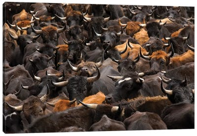 Domestic Cattle Being Herded By Chagra Cowboys At A Hacienda, Annual Overnight Cattle Round-Up, Andes Mountains, Ecuador Canvas Art Print