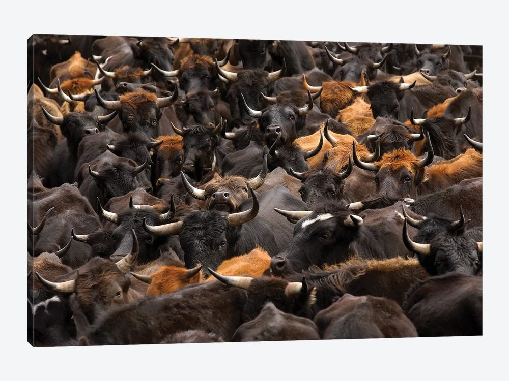 Domestic Cattle Being Herded By Chagra Cowboys At A Hacienda, Annual Overnight Cattle Round-Up, Andes Mountains, Ecuador by Pete Oxford 1-piece Art Print