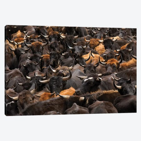 Domestic Cattle Being Herded By Chagra Cowboys At A Hacienda, Annual Overnight Cattle Round-Up, Andes Mountains, Ecuador Canvas Print #POX11} by Pete Oxford Canvas Wall Art