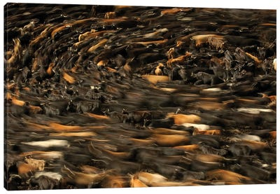 Blurred Motion View Of Cattle Being Herded By Chagra Cowboys, Annual Overnight Cattle Round-Up, Andes Mountains, Ecuador Canvas Art Print
