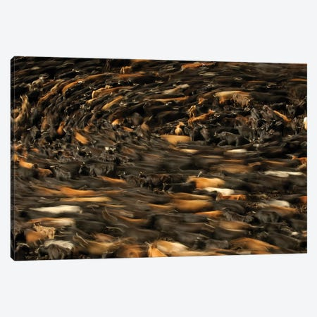Blurred Motion View Of Cattle Being Herded By Chagra Cowboys, Annual Overnight Cattle Round-Up, Andes Mountains, Ecuador Canvas Print #POX12} by Pete Oxford Canvas Art