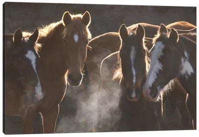Domestic Horse Herd At Annual Round-Up, Backlit, Ecuador Canvas Art Print