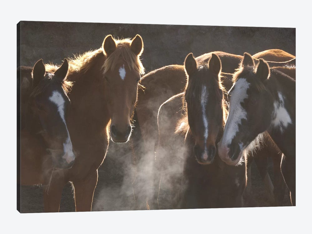 Domestic Horse Herd At Annual Round-Up, Backlit, Ecuador by Pete Oxford 1-piece Canvas Print