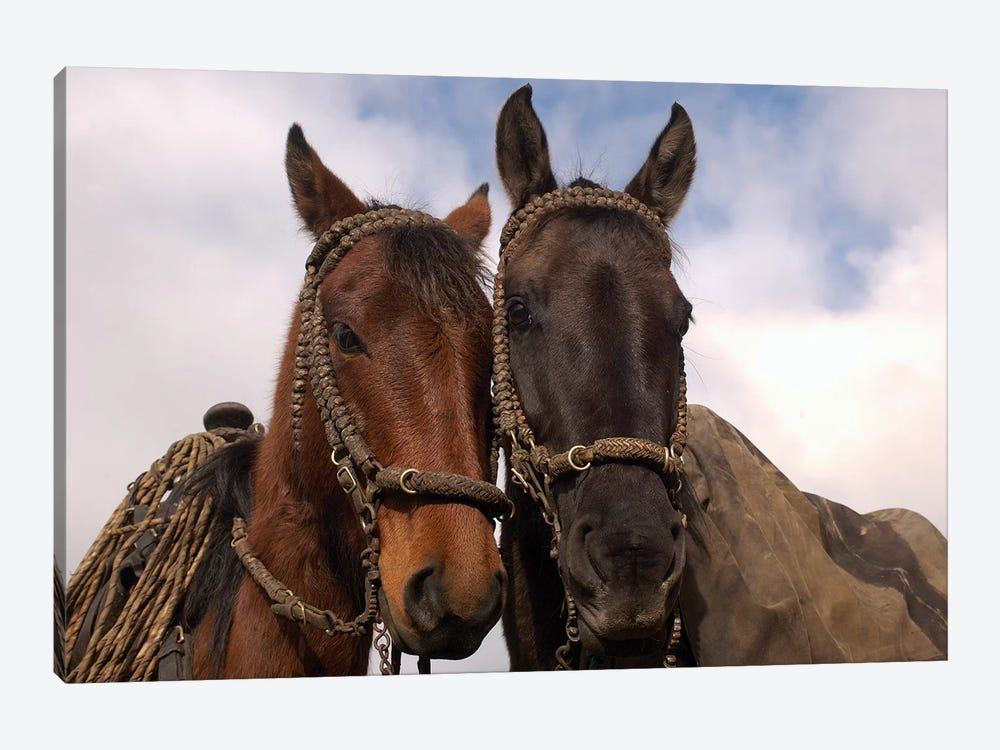 Domestic Horse Pair Belonging To Chagra Cowboys At The Hacienda Yanahurco In The Andes Mountains, Ecuador by Pete Oxford 1-piece Canvas Art