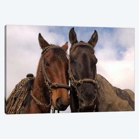 Domestic Horse Pair Belonging To Chagra Cowboys At The Hacienda Yanahurco In The Andes Mountains, Ecuador Canvas Print #POX14} by Pete Oxford Canvas Art Print
