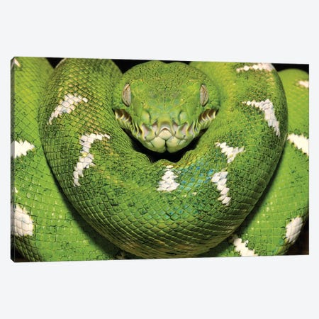 Emerald Tree Boa Showing Thermoreceptors Between The Labial Scales, Amazon, Ecuador Canvas Print #POX15} by Pete Oxford Art Print