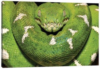 Emerald Tree Boa Showing Thermoreceptors Between The Labial Scales, Amazon, Ecuador Canvas Art Print
