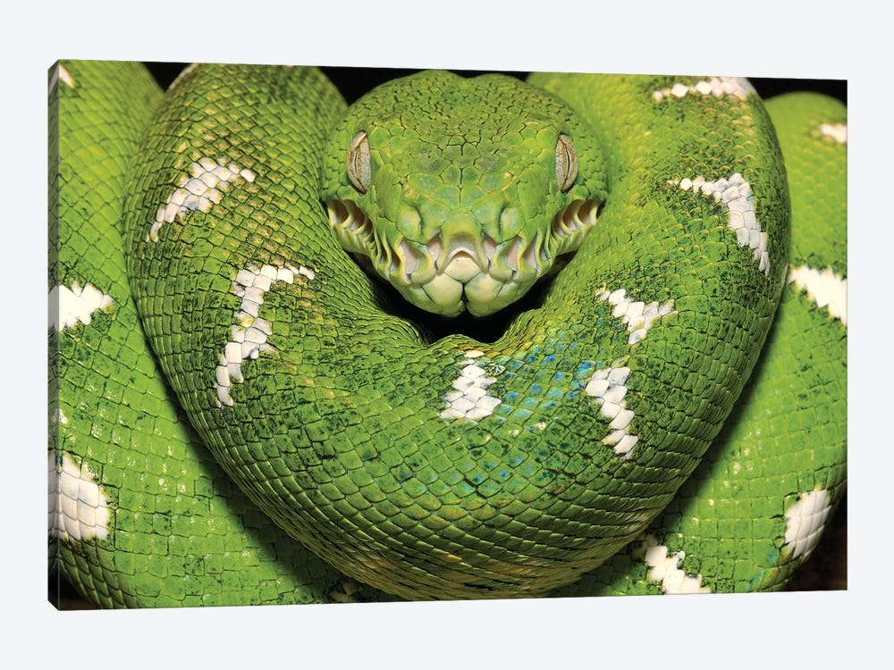 Emerald Tree Boa Showing Thermoreceptors Between The Labial Scales, Amazon, Ecuador by Pete Oxford 1-piece Canvas Art Print