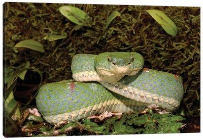 Eyelash Viper Coiled On Bromeliad, Venomous, Arboreal, Esmeraldas, Ecuador Canvas Art Print