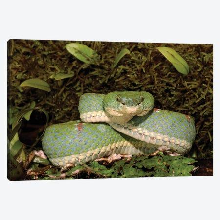 Eyelash Viper Coiled On Bromeliad, Venomous, Arboreal, Esmeraldas, Ecuador Canvas Print #POX17} by Pete Oxford Art Print