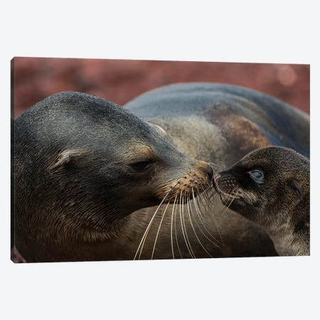 Galapagos Sea Lion Mother Nuzzling Pup, Rabida Island, Galapagos Islands, Ecuador Canvas Print #POX20} by Pete Oxford Canvas Print