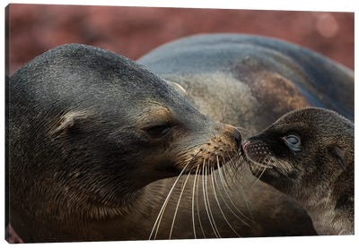 Galapagos Sea Lion Mother Nuzzling Pup, Rabida Island, Galapagos Islands, Ecuador Canvas Art Print