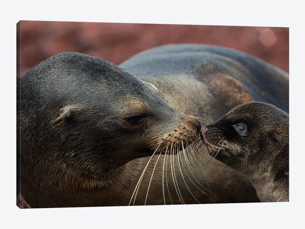 Galapagos Sea Lion Mother Nuzzling Pup, Rabida Island, Galapagos Islands, Ecuador by Pete Oxford 1-piece Canvas Print