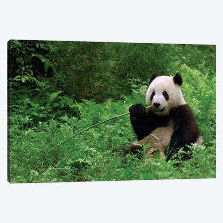 Giant Panda Sitting In Vegetation Eating Bamboo, Wolong National Nature Reserve, Wenchuan County, Sichuan Province Canvas Print #POX21} by Pete Oxford Art Print