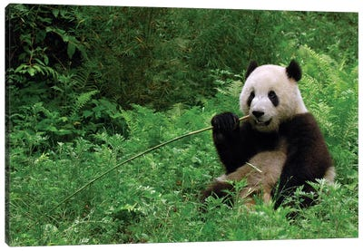 Giant Panda Sitting In Vegetation Eating Bamboo, Wolong National Nature Reserve, Wenchuan County, Sichuan Province Canvas Art Print