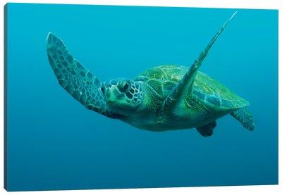 Green Sea Turtle Swimming, Galapagos Islands, Ecuador Canvas Art Print