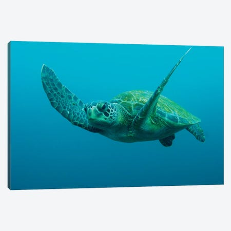 Green Sea Turtle Swimming, Galapagos Islands, Ecuador Canvas Print #POX23} by Pete Oxford Canvas Print