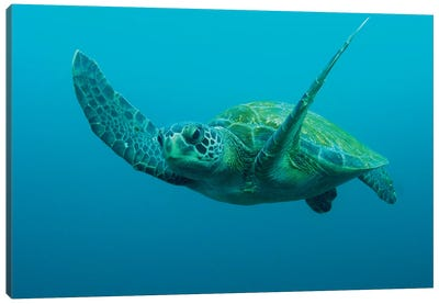 Green Sea Turtle Swimming, Galapagos Islands, Ecuador Canvas Art Print