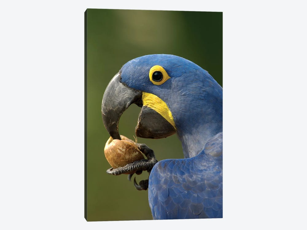 Hyacinth Macaw In Cerrado Habitat Cracking Open A Piassava Palm Nut To Drink The Milk, Brazil by Pete Oxford 1-piece Art Print