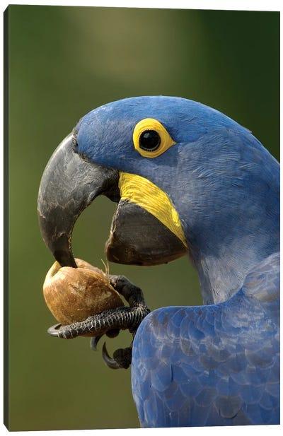 Hyacinth Macaw In Cerrado Habitat Cracking Open A Piassava Palm Nut To Drink The Milk, Brazil Canvas Art Print
