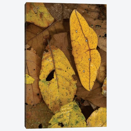 Close-Up Of Imperial Moth Camouflaged In Rainforest Leaf Litter, Yasuni National Park, Ecuador Canvas Print #POX25} by Pete Oxford Canvas Wall Art