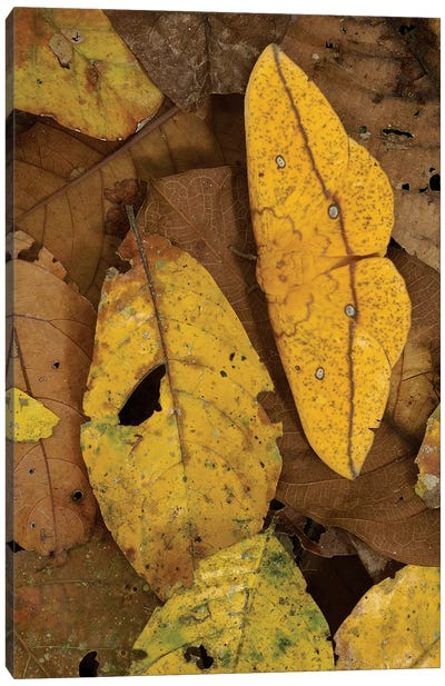 Close-Up Of Imperial Moth Camouflaged In Rainforest Leaf Litter, Yasuni National Park, Ecuador Canvas Art Print