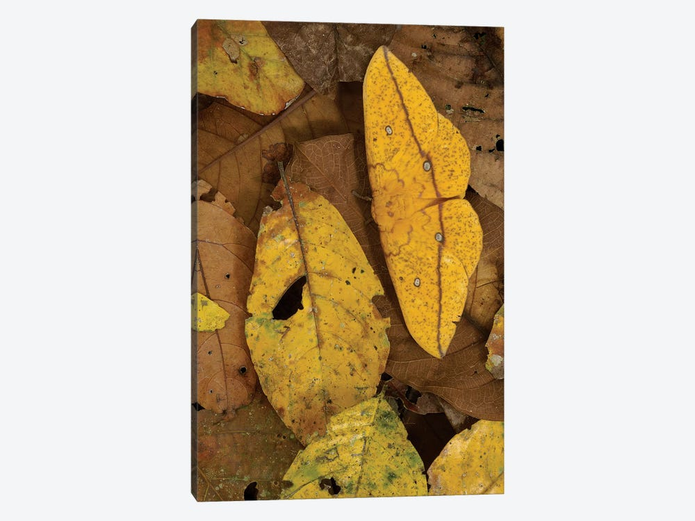 Close-Up Of Imperial Moth Camouflaged In Rainforest Leaf Litter, Yasuni National Park, Ecuador by Pete Oxford 1-piece Canvas Wall Art