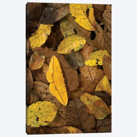 Imperial Moth Camouflaged In Rainforest Leaf Litter, Yasuni National Park, Ecuador Canvas Print #POX26} by Pete Oxford Canvas Wall Art