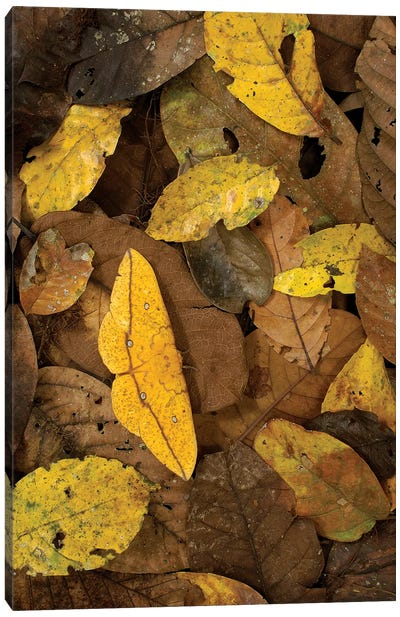 Imperial Moth Camouflaged In Rainforest Leaf Litter, Yasuni National Park, Ecuador Canvas Art Print