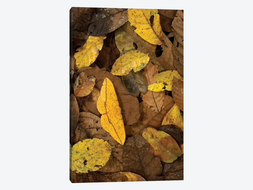 Imperial Moth Camouflaged In Rainforest Leaf Litter, Yasuni National Park, Ecuador by Pete Oxford 1-piece Canvas Print