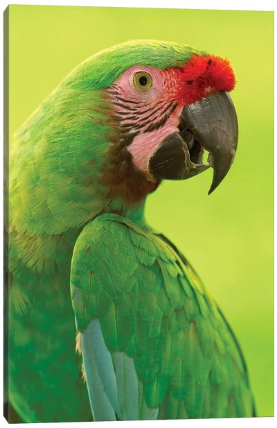 Military Macaw Portrait, Amazon Rainforest, Ecuador Canvas Art Print
