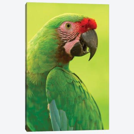 Military Macaw Portrait, Amazon Rainforest, Ecuador Canvas Print #POX27} by Pete Oxford Canvas Art