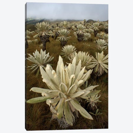 Paramo Flower In Paramo Habitat, Endemic Species, Paramo, El Angel Reserve, Northeastern Ecuador I Canvas Print #POX29} by Pete Oxford Art Print