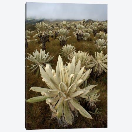 Paramo Flower In Paramo Habitat, Endemic Species, Paramo, El Angel Reserve, Northeastern Ecuador I Canvas Print #POX29} by Pete Oxford Art Print