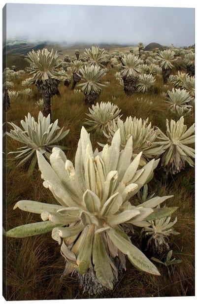 Paramo Flower In Paramo Habitat, Endemic Species, Paramo, El Angel Reserve, Northeastern Ecuador I Canvas Art Print