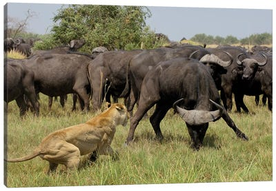 African Lion Fending Off Cape Buffalo, Africa Canvas Art Print