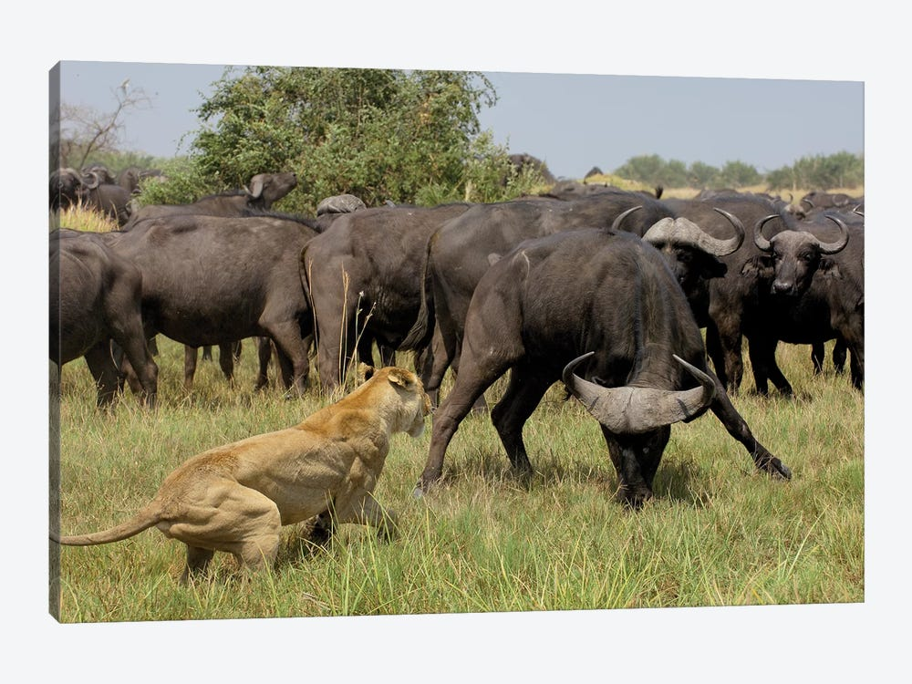 African Lion Fending Off Cape Buffalo, Africa by Pete Oxford 1-piece Art Print