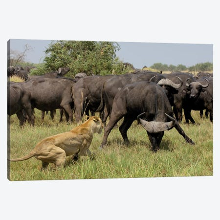 African Lion Fending Off Cape Buffalo, Africa Canvas Print #POX2} by Pete Oxford Canvas Art
