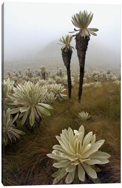 Paramo Flower In Paramo Habitat, Endemic Species, Paramo, El Angel Reserve, Northeastern Ecuador II Canvas Art Print