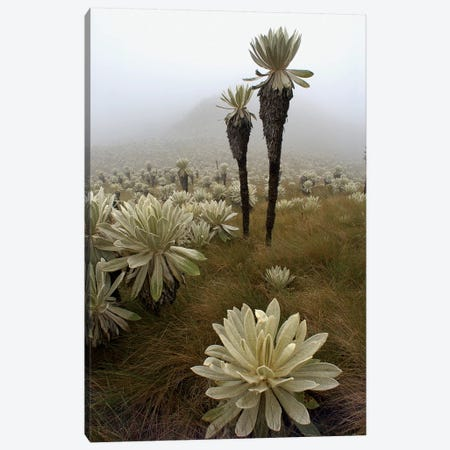 Paramo Flower In Paramo Habitat, Endemic Species, Paramo, El Angel Reserve, Northeastern Ecuador II Canvas Print #POX30} by Pete Oxford Canvas Wall Art