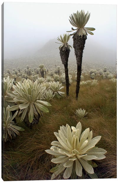 Paramo Flower In Paramo Habitat, Endemic Species, Paramo, El Angel Reserve, Northeastern Ecuador II Canvas Art Print