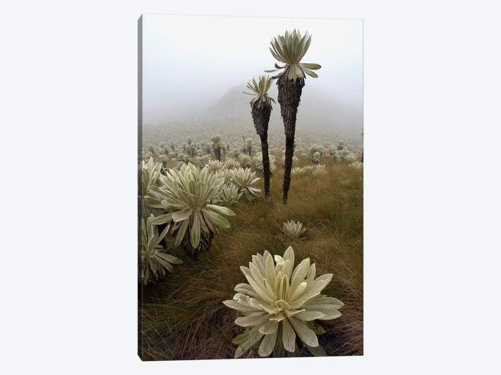 Paramo Flower In Paramo Habitat, Endemic Species, Paramo, El Angel Reserve, Northeastern Ecuador II by Pete Oxford 1-piece Canvas Art