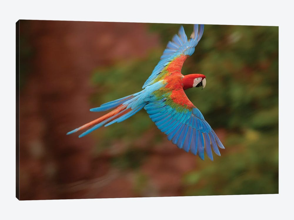 Red And Green Macaw Flying, Cerrado Habitat, Mato Grosso Do Sul, Brazil by Pete Oxford 1-piece Art Print