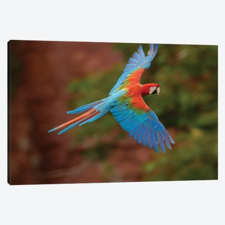 Red And Green Macaw Flying, Cerrado Habitat, Mato Grosso Do Sul, Brazil Canvas Print #POX31} by Pete Oxford Canvas Wall Art